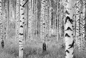 Fototapetti Komar Woods
