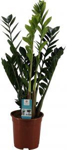 Palmuvehka Zamioculcas Zamiifolia P21