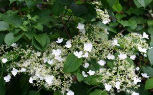 Köynnöshortensia Hydrangea Anomala Petiolaris