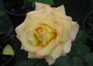 Ryhmäruusu Rosa Peace 1 kpl