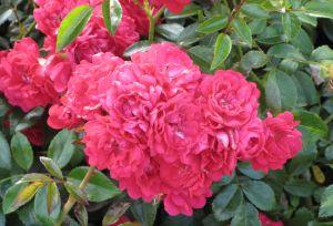 Maanpeittoruusu Rosa Fairy Queen 1 kpl