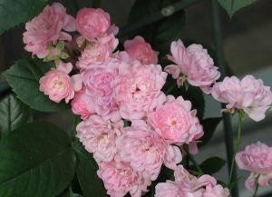 Maanpeittoruusu Rosa Fairy 1 kpl