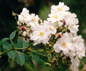 Köynnösruusu Rosa Pohjantähti 1 kpl