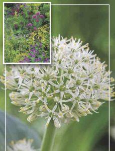 Syyskukkasipuli Pallolaukka Allium Karataviense Ivory Queen 6 kpl