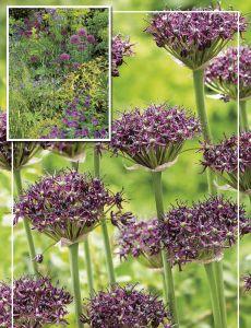 Syyskukkasipuli Viinilaukka Allium Atropurpureum 6 kpl