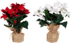 Silkkikasvi Joulutähti juuttiruukussa