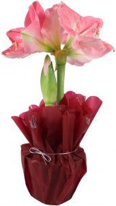 Amaryllis vaaleanpunainen