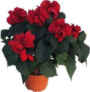 Joulutähti Harlequin Red