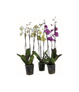 Perhosorkidea Phalaenopsis P12